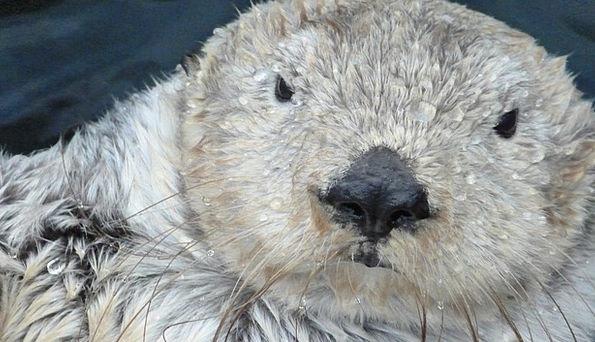 Otter Swimmer Bather Marten Water Aquatic