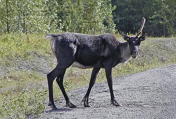 Caribou Horn Wild Rough Antler Wildlife Wilderness