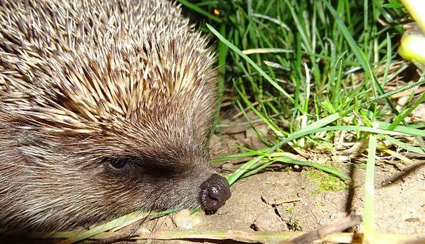 Hedgehog Landscapes Faunae Nature Nature Countrysi