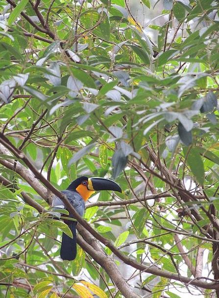 Tucano Plants Tropical Hot Trees Bird Fowl