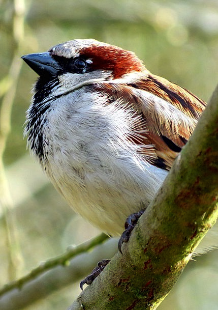 House Sparrow Bird Fowl Sparrow Wildlife Avian Nat