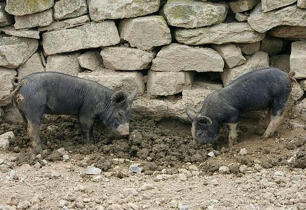 Piglets Pigs Cattle Shoats Hogs Monopolizes Young