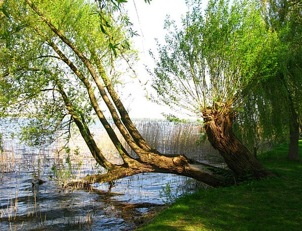 Weeping Willow Meadow Tree Sapling Pasture Lakesid