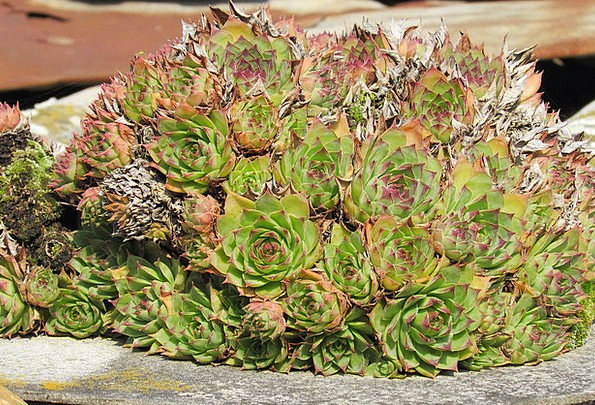 Saxifrage Like Landscapes Imperfect Nature Dicotyl