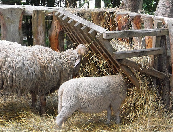 Sheep Ewe Beef Farm Farmhouse Lamb Animal Livestoc