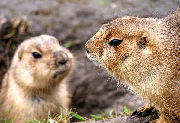 Prairie Dog Zoo Menagerie Rodent Africa Nuts Wildl
