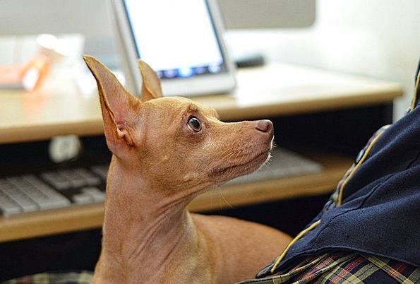 Wonderful Chihuahua Canine Adorable Dog - Dog-Pet-Chihuahua-Obey-Free-Image-Canine-Adorable--8270  Gallery_968830  .jpg