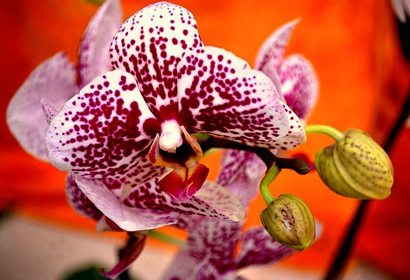 Orchid Landscapes Floret Nature Tropical Hot Flowe