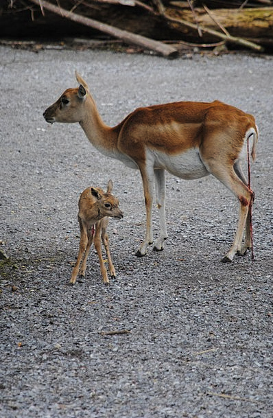 Blackbuck Barrier Young Animal Dam Birth Natal Umb