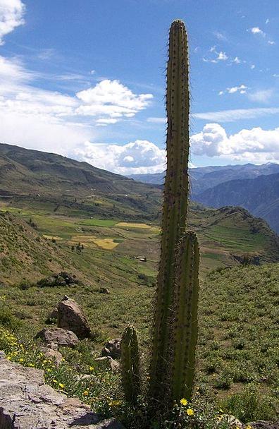Cactus Landscapes Vegetable Nature Cephalocereus P
