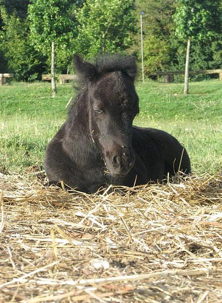 Foal Horse Pony Filly Doze Ponette Black Petit She