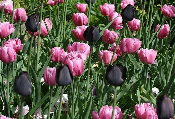 Tulips Dark Pink Flushed Black Flower Floret Sprin