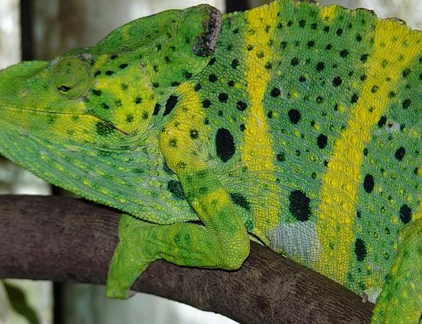 Common Chameleon Chamaeleo Chamaeleon European Cha
