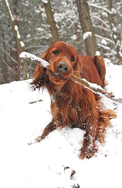 Dog Canine Twig Winter Season Stick Fun Amusing Co
