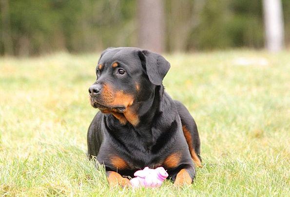 Rottweiler Canine Dog Lying Dog