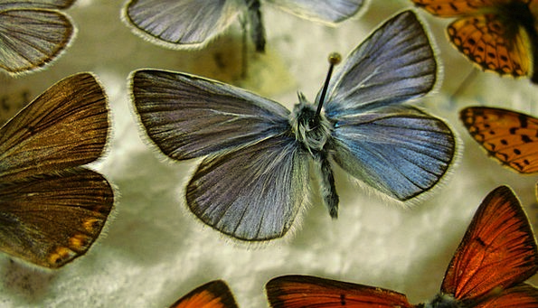 Butterfly Azure Pinned Held Blue Wing Annex Insect