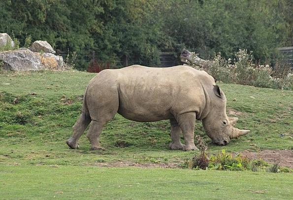 Rhino Physical Zoo Menagerie Animal Rhinoceros Afr