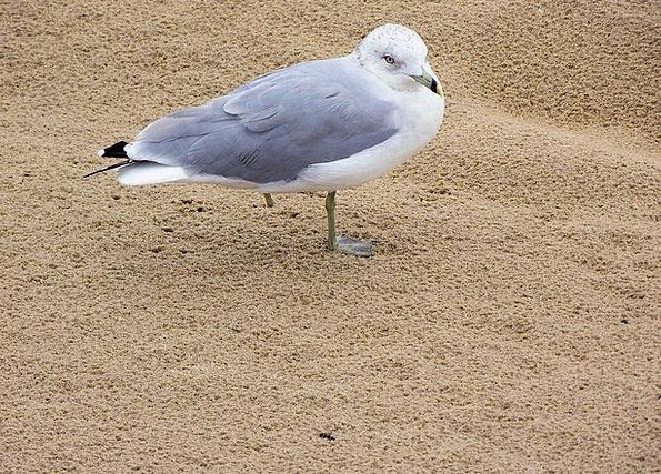 Seagull Fowl Injured Bird Sand Shingle Gull Hurt B