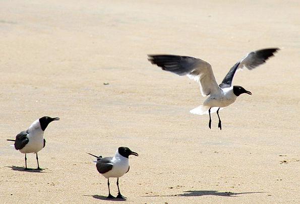 Seagulls Vacation Hover Travel Beach Seashore Fly