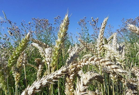 Wheat Spike Spike Point Wheat Cereals Mueslis Summ