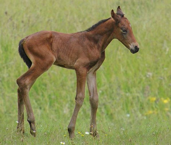 Animals Faunae Mount Foal Horse Bai French Saddle