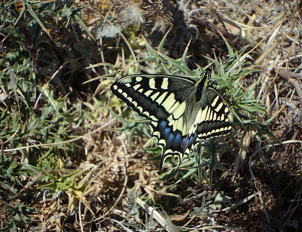Butterfly Wildlife Dovetail Merge Fauna Wing Annex
