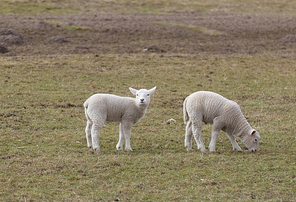 Lambs Beefs Beef Schäfchen Lamb Dyke Lambs Sheep E