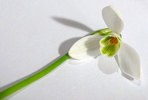 Snowdrop Coil Season Period Spring Flower Floret D