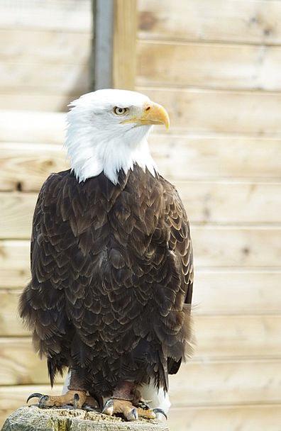 Bald Eagle Bird Fowl Adler Birds Plumage Down Claw