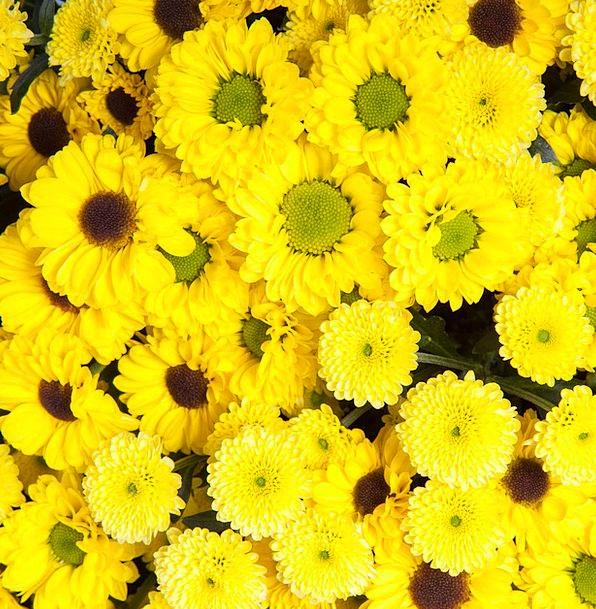 Chrysanthemum Landscapes Creamy Nature Beautiful L