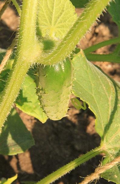 Cucumbers Landscapes Nature Vine Creeper Plant Cli