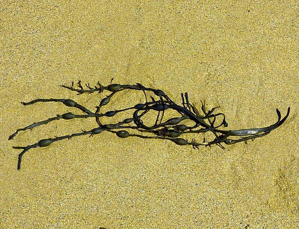 Seaweed Landscapes Nature Algae Bladder Kelp Brown