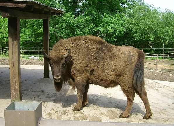 Bison Steppe Mammal Creature Prairie Animal Physic