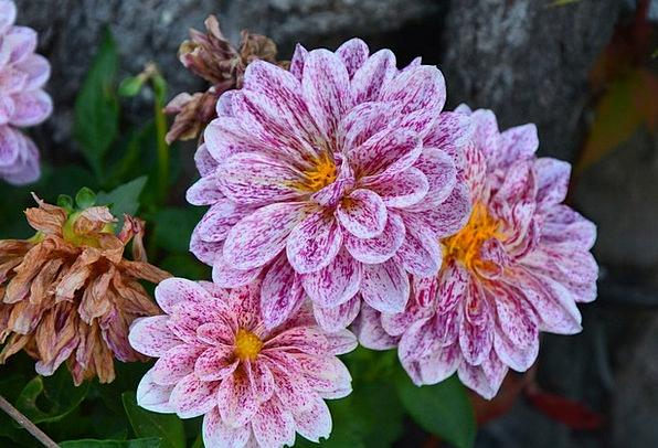 Dahlia Floret Color Hue Flower