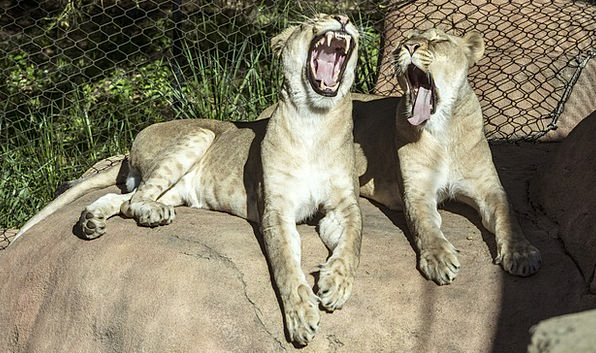 Lionesses Bores Resting Latent Yawns Zoo Animal Ph