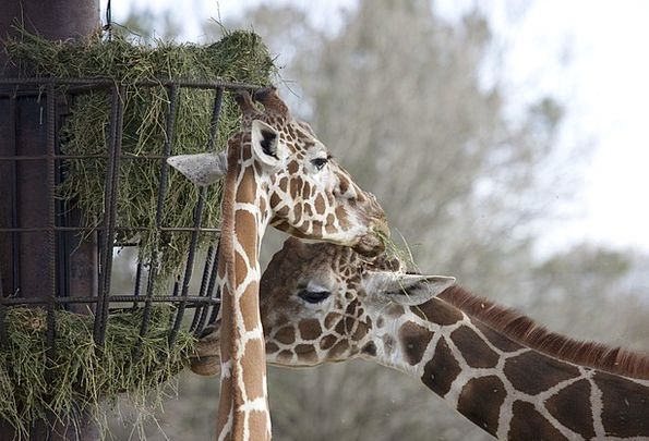 Two Giraffes Drink Consumption Food Grazing Browsi