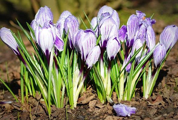 Crocuses Landscapes Coil Nature Flowers Plants Spr