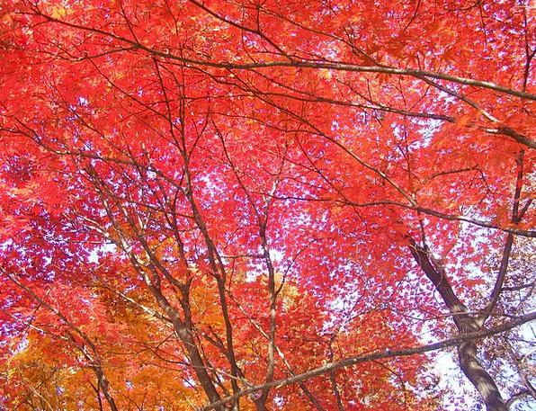 Autumn Leaves Autumn Fall Red Maple Leaf