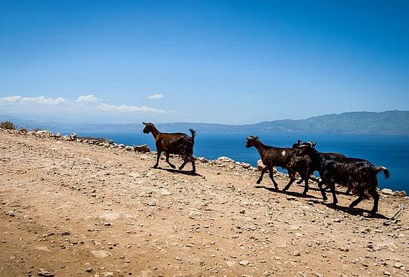 Goats Greece The Stones Crete