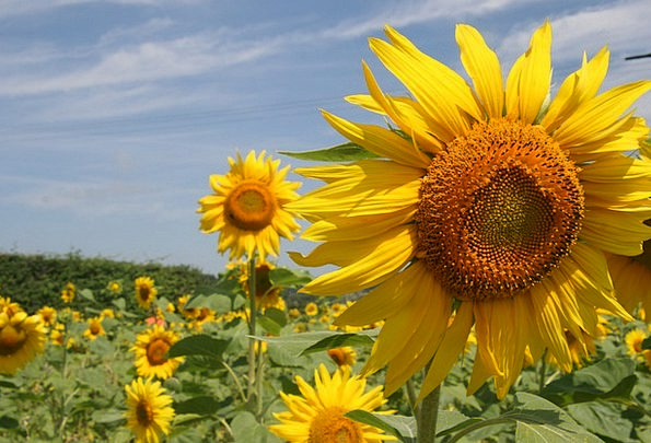Sunflower Landscapes Creamy Nature Nature Countrys